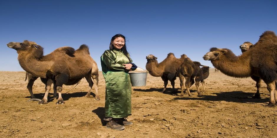 Chameaux de Mongolie